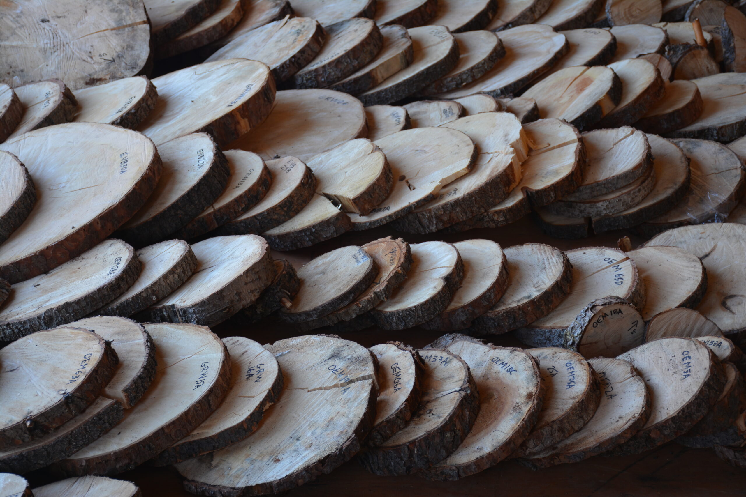 Tree rings to study recurrence interval
